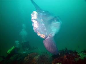 Mola Mola Matthew Lawrence SBNMS