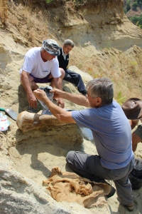 Preparing a plaster jacket for a partial femur of a mastodon