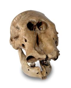 ISM - Anderson mastodon skull front