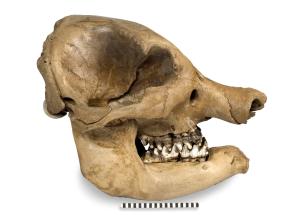 ISM - Anderson mastodon
