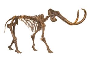 ISM - Hebior mammoth