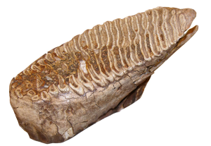 ISM - Mammoth tooth