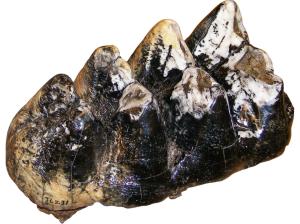 ISM - Mastodon tooth