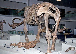 Compilation skeleton woolly mammoth, NCB Naturalis Leiden (1)