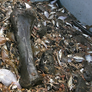 Mammoth tibia, freshly trawled, with fish... (1)