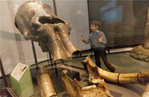 NHM-ColumbianMammothSkull