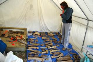 Assistant Palaeontologist Elizabeth Hall organizing a days collection of bones in the tent at our field camp near Dawson city