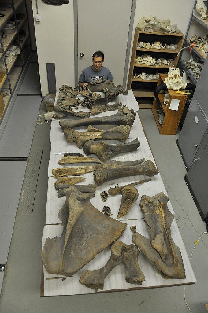 Bennett mastodon skeleton