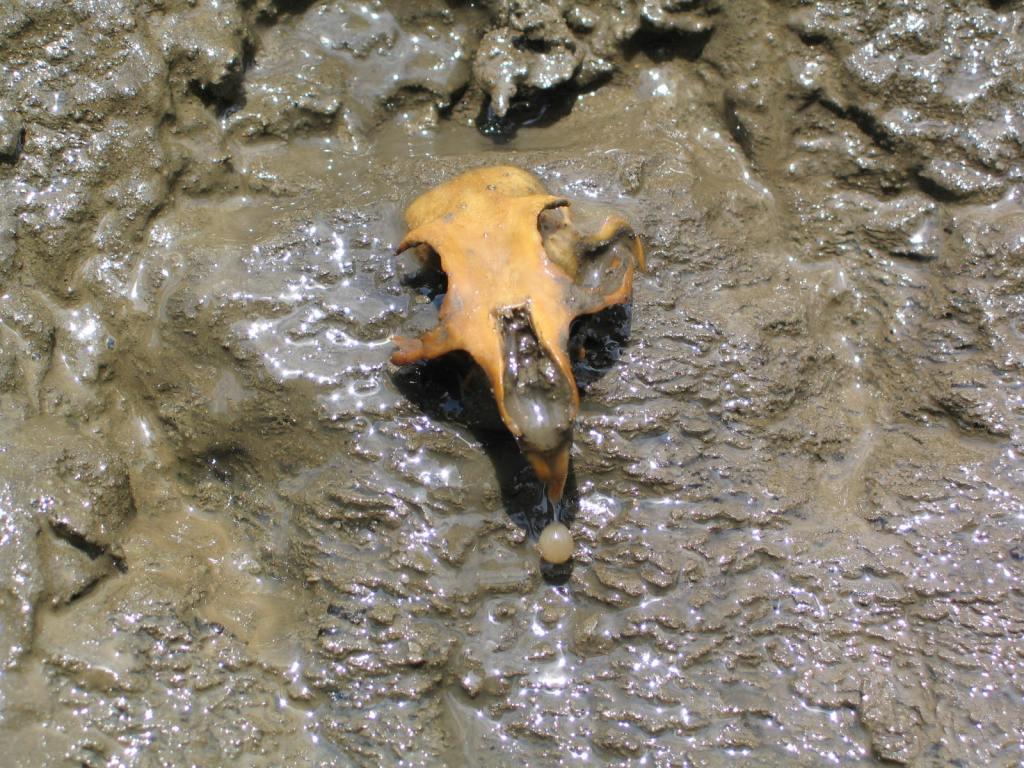 Arctic Ground Squirrel fossil skull