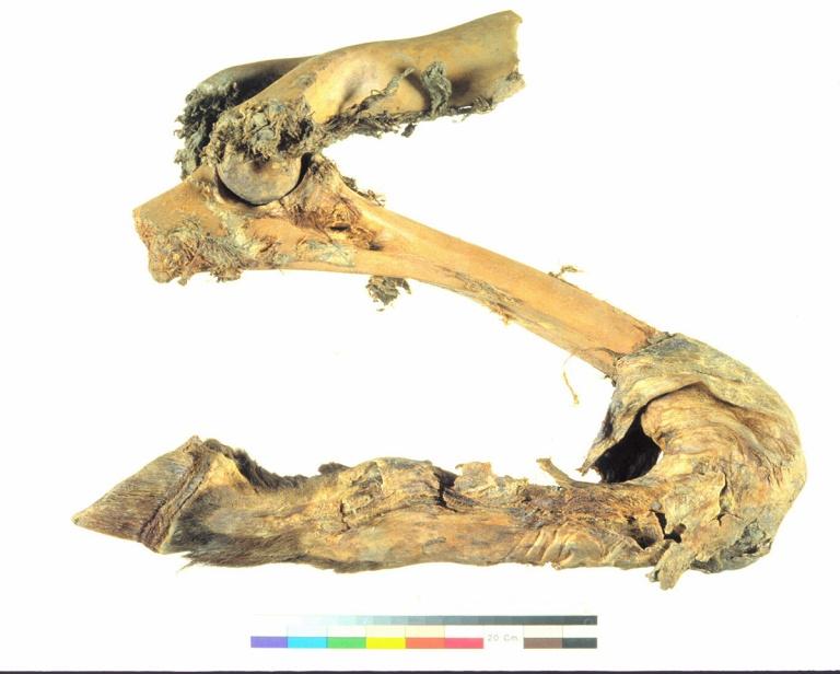 26,000 year old mummified Yukon horse (Equus lambei) foreleg recovered a....Canadian Museum of Nature