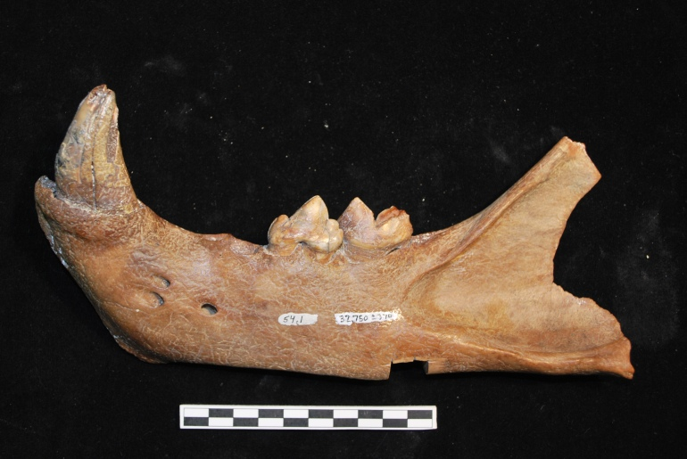lion mandible