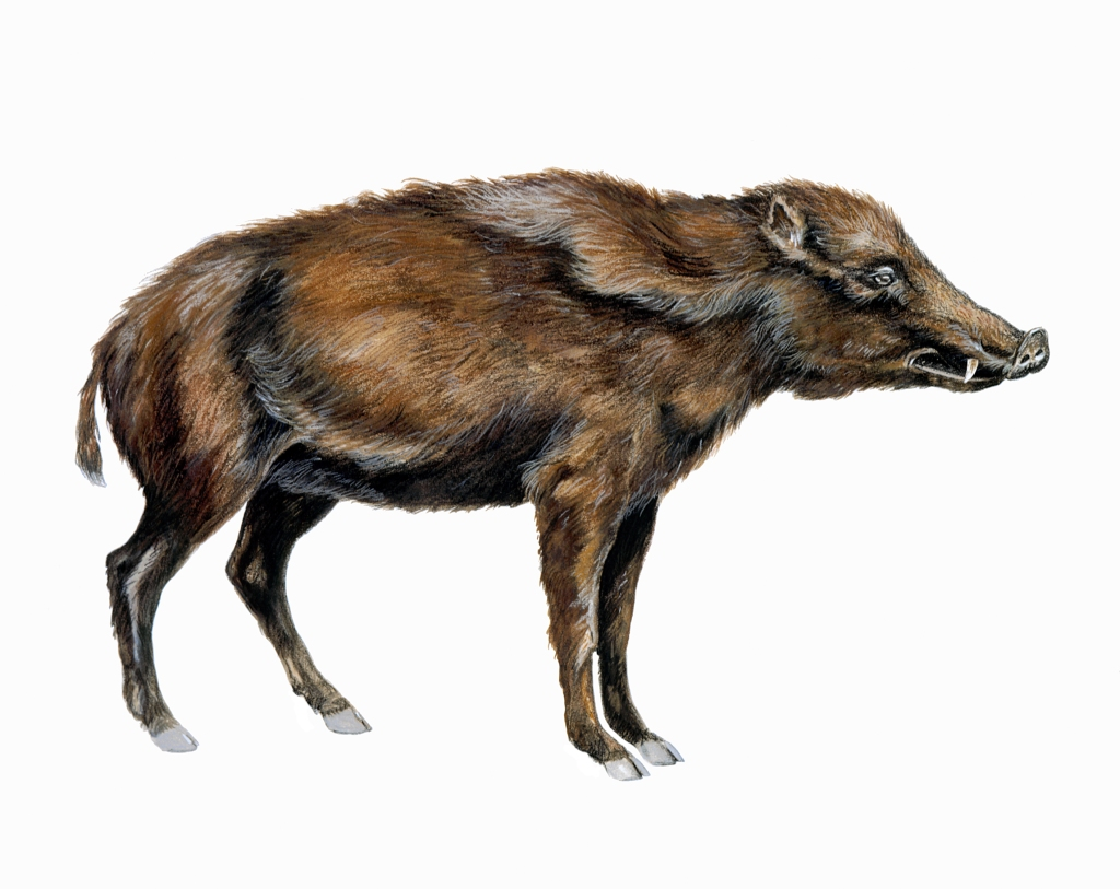 Peccary Fig 02  iceage13a upgraded