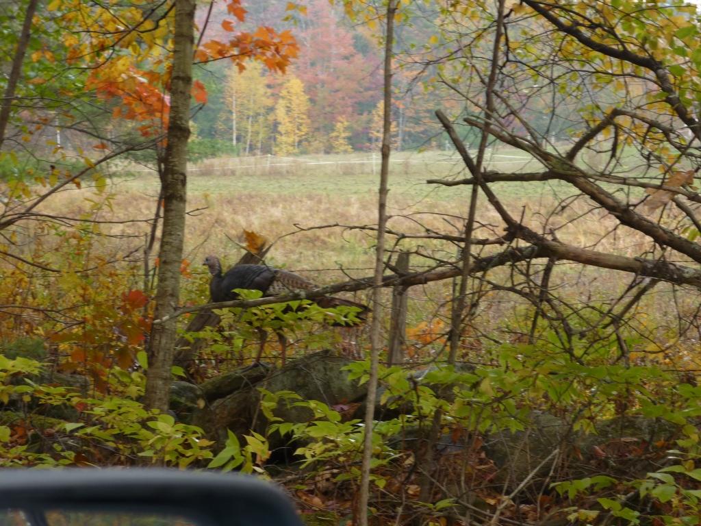 Wild turkey in Fall