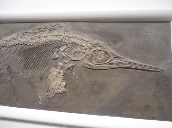 Yale Peabody - Ichthyosaurus detail