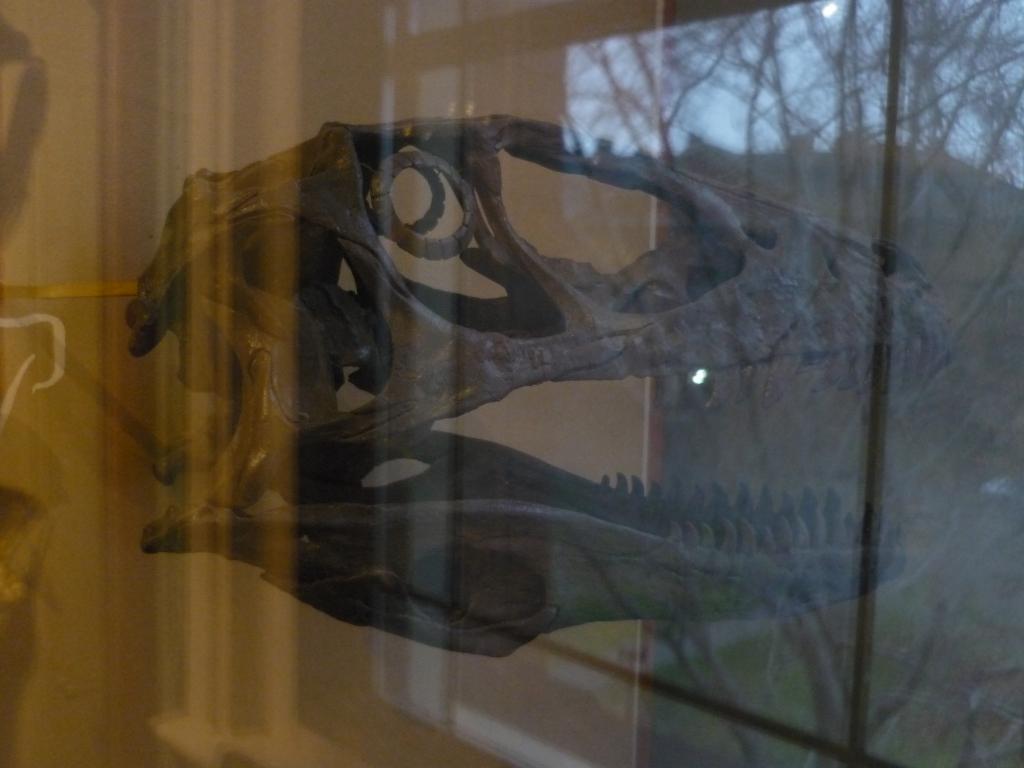 HMNH - Deionychus skull