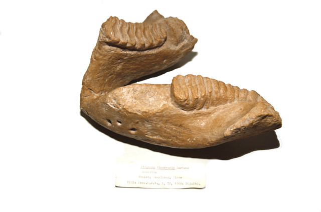 Alexandra van der Geer - stegodon-timorensis-mandible