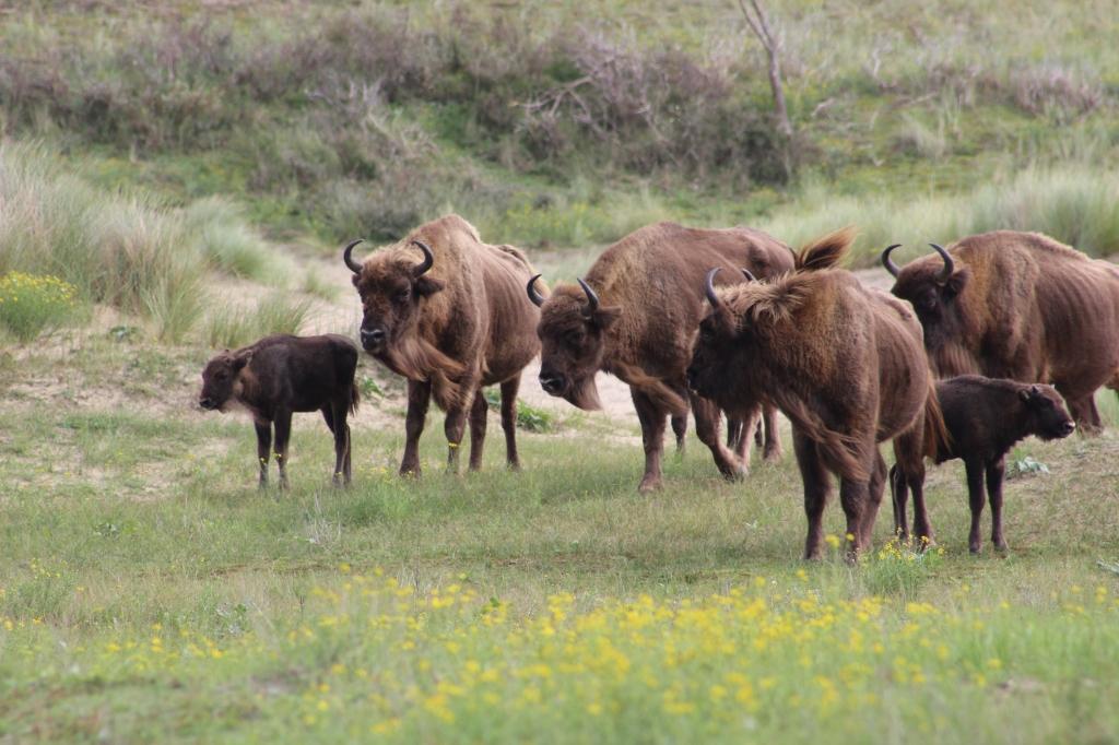 bison-bonasus-kraansvlak-netherlands