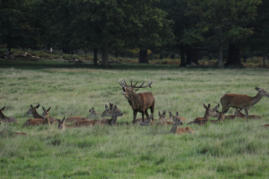 cervus-elaphus-richmond-park-london-uk