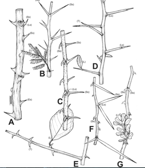 Types of thorns - Supplemental info, Charles-Dominique et al