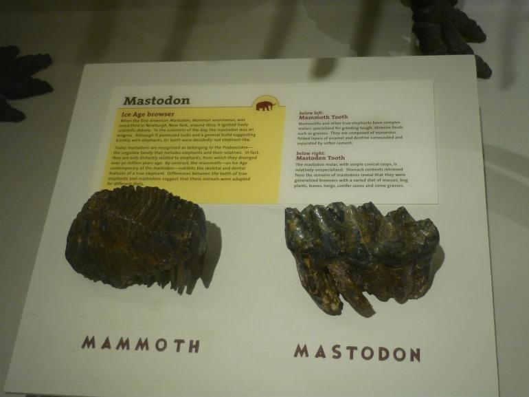 hmnh-mammoth-and-mastodon-teeth